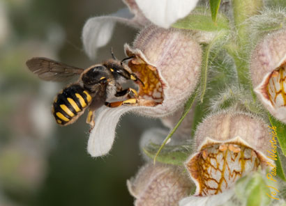 Anthidium manicatum an Digitalis lanata