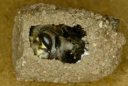 Anthophora plumipes Männchen in Brutzelle
