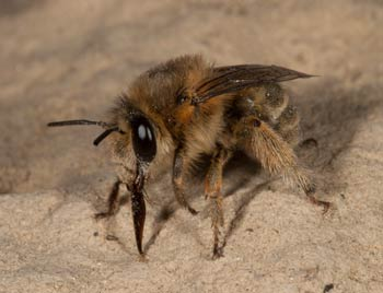 Anthophora pubescens
