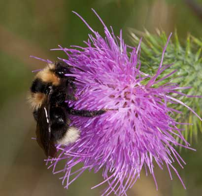 Bombus barbutellus
