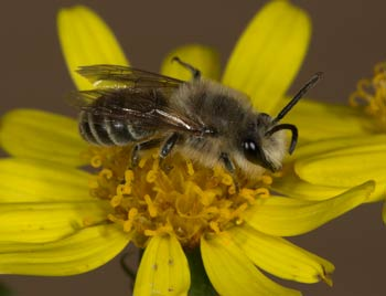 Colletes collaris