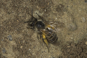 Colletes hedera am Nest
