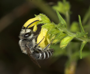 Colletes sierrensis Männchen an Odontites viscosus