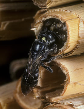 Osmia rapunculli am Nest