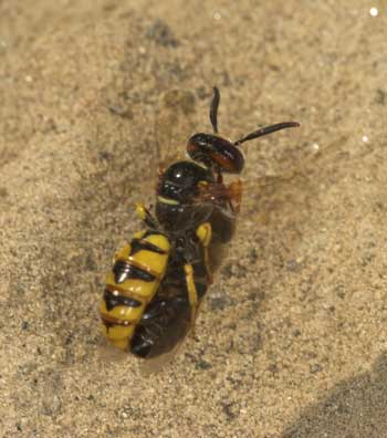 Philanthus triangulum - Bienenwolf
