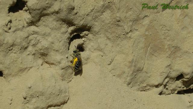 colletes_daviesanus_loess